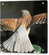 Falcon- Wings Spread Acrylic Print