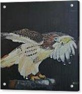 Falconry 5 Acrylic Print
