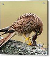 Falcon's Breakfast  Acrylic Print