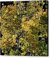 Fall Aspen Acrylic Print