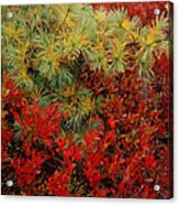 Fall Blueberries And Pine-sq Acrylic Print