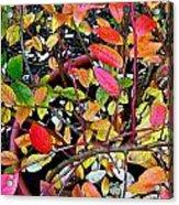 Fall Blueberry Bush Acrylic Print