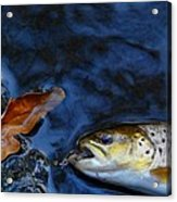 Fall Brown Trout Acrylic Print
