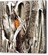 Fall Corn Acrylic Print