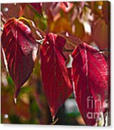 Fall Dogwood Leaves Acrylic Print