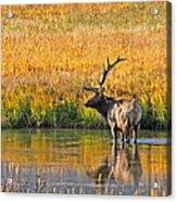 Fall Elk Reflection Acrylic Print