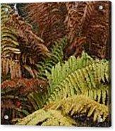Fall Ferns Acadia National Park Img 6355 Acrylic Print