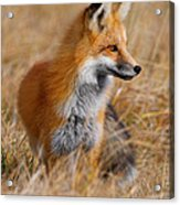 Fall Fox Acrylic Print