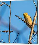 Fall Goldfinch Acrylic Print