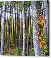 Fall Ivy In Pine Tree Forest Acrylic Print
