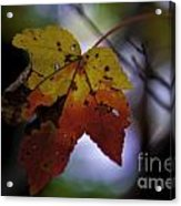 Red And Yellow Maple Leaf Acrylic Print