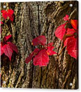 Fall Leaves Against Tree Trunk Acrylic Print