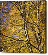 Fall Leaves And Trees In West Michigan No171 Acrylic Print
