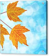 Fall Maple Leaves Trio With Blue Sky Acrylic Print