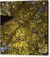 Fall Maple Acrylic Print