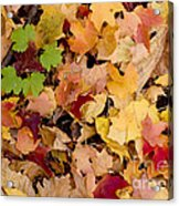 Fall Maples Acrylic Print by Steven Ralser