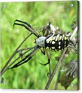 Fall Meadow Spider - Argiope Aurantia Acrylic Print