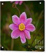 Fall Pink Daisy Acrylic Print
