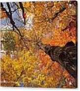 Fall Poplar Leaves Yellows Oranges 2899 Acrylic Print