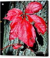 Fall Red Leaf Acrylic Print