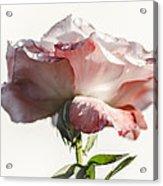 Fall Rose Acrylic Print