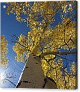 Fall Tree Acrylic Print by David Yack