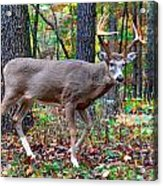 Fall Trophy Buck Acrylic Print