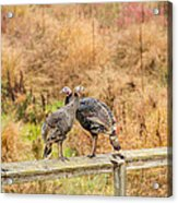 Fall Turkeys Acrylic Print