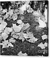 Fallen Acer Maple Leaves On Ground Autumn Fall Celebration Florida Usa Acrylic Print