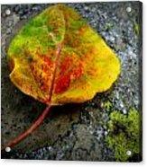 Fallen Autumn Aspen Leaf Acrylic Print