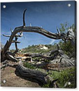 Fallen Dead Torrey Pine Trunk At Torrey Pines State Natural Reserve Acrylic Print