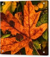 Fallen Maple Leave Acrylic Print