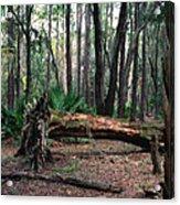 Fallen Oak. Split Oak Forest. Acrylic Print