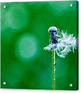 Fallen Off Dandelion - Featured 3 Acrylic Print