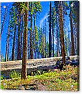 Fallen Sequoia In Mariposa Grove In Yosemite National Park-california Acrylic Print