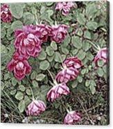 Fallin' Roses Acrylic Print