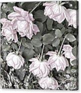 Falling Roses Acrylic Print