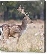 Fallow Deer Buck On Guard  Acrylic Print