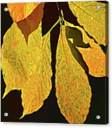 Fall's Purest Gold Acrylic Print