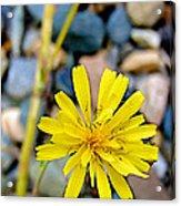 False Dandelion Or Cat's Ear In Five Finger Rapids Recreation Site Along Klondike Hwy-yt  Acrylic Print