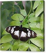False Diadem Butterfly Acrylic Print