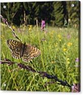 False Heath Fritillary In Meadow Bavaria Acrylic Print