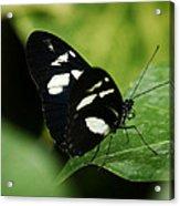 False Zebra Longwing Butterfly Acrylic Print