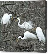 Family Affair Egrets Louisiana Acrylic Print