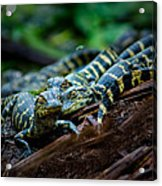 Baby Alligator Selfie Acrylic Print