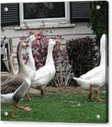 Family Of Ducks Acrylic Print