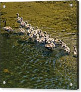 Family Of Geese On The Rogue River Acrylic Print