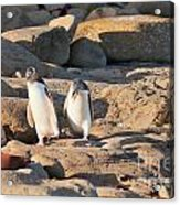 Family Of Nz Yellow-eyed Penguin Or Hoiho On Shore Acrylic Print