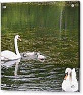 Family Of Swans Acrylic Print