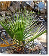 Fan Palm Leaf Over Andreas Creek In Indian Canyons-ca Acrylic Print